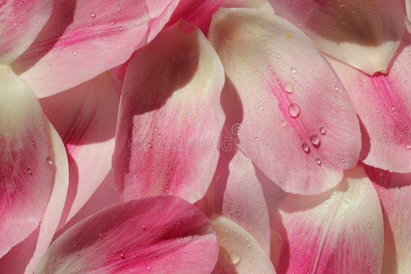 Fond de pétale de fleur images libres de droits