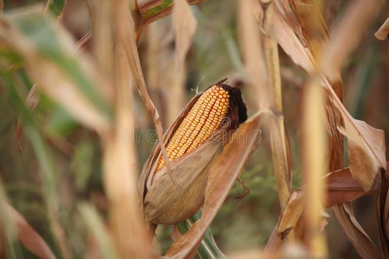 Fond de photo numérique de tige d'épi de maïs photo libre de droits