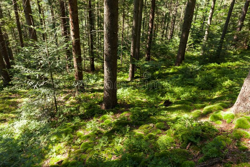 Fond de pin de région sauvage de forêt, nature d'automne lumineuse image stock