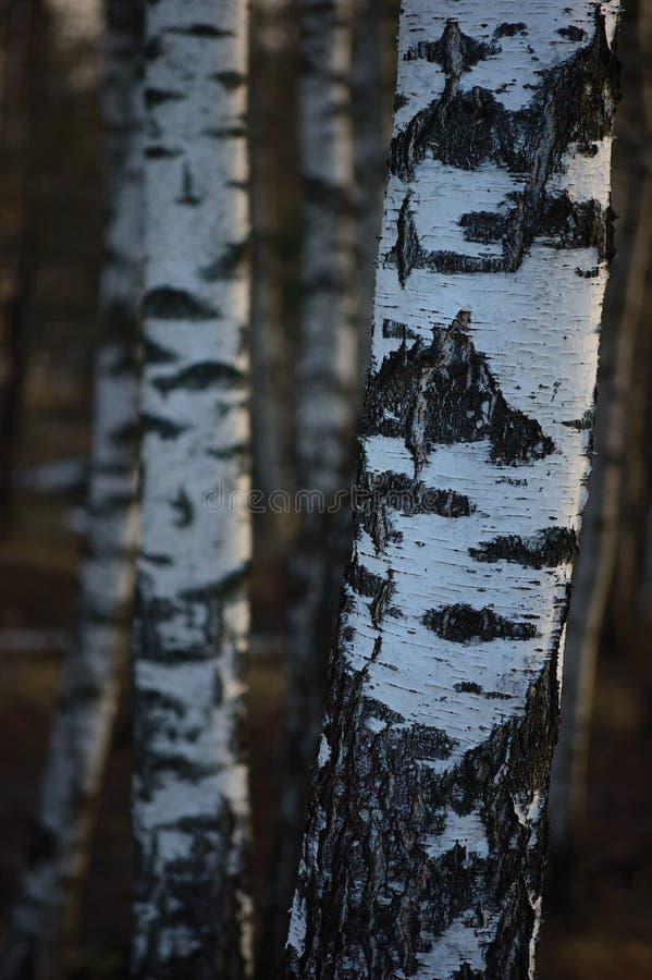 Fond de plan rapproché d'écorce de troncs de verger d'arbre de bouleau, grande scène verticale détaillée de paysage de mars de bo photo stock