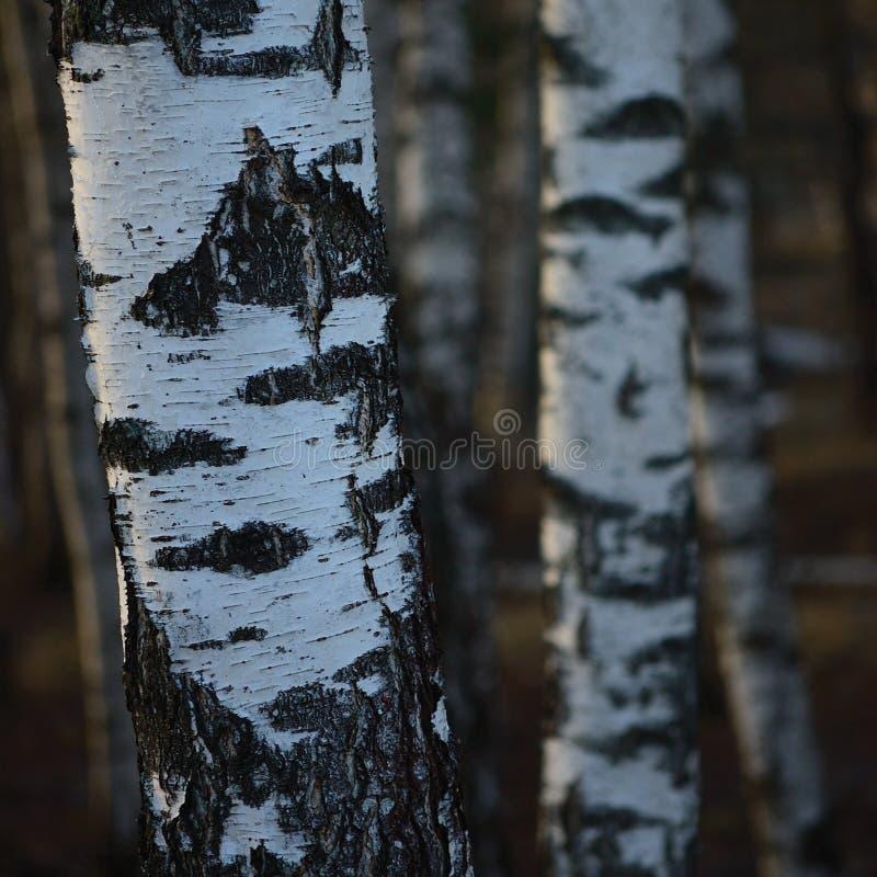 Fond de plan rapproché d'écorce de troncs de verger d'arbre de bouleau, grande scène verticale détaillée de paysage de mars de bo photos stock