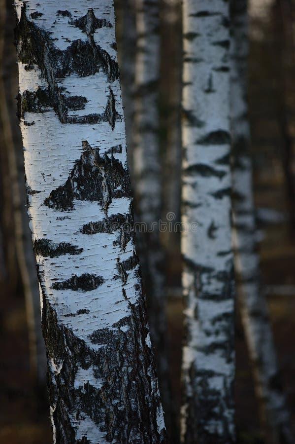 Fond de plan rapproché d'écorce de troncs de verger d'arbre de bouleau, grande scène verticale détaillée de paysage de mars de bo photographie stock libre de droits
