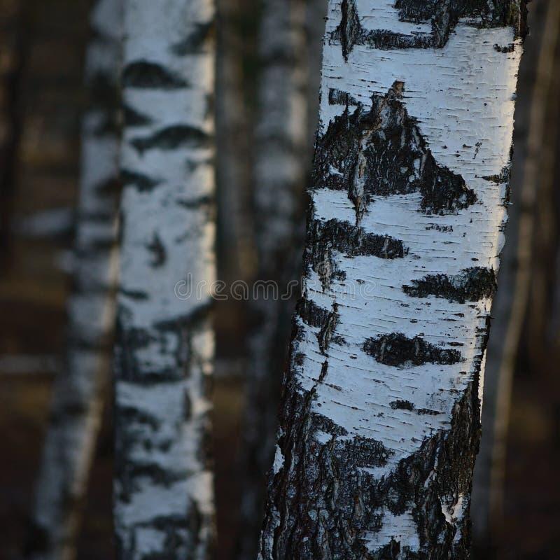 Fond de plan rapproché d'écorce de troncs de verger d'arbre de bouleau, grande scène verticale détaillée de paysage de mars de bo images libres de droits