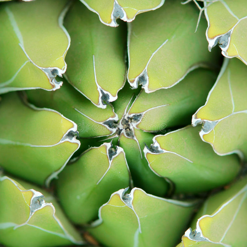 Fond de plan rapproché d'agave images libres de droits