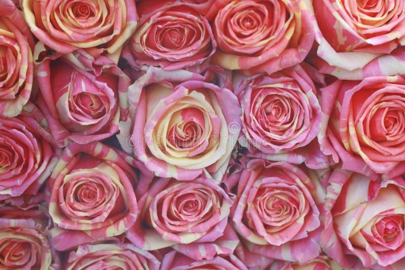 Fond de plan rapproché de roses photos libres de droits