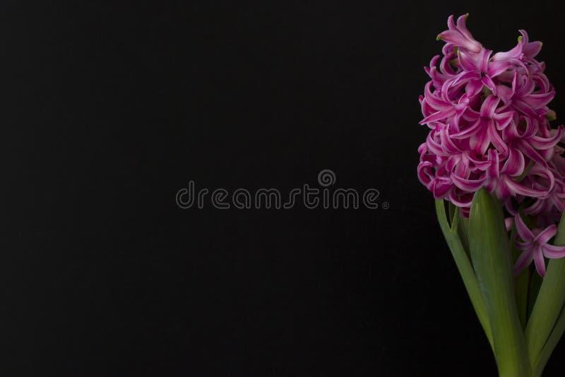 Fond de ressort avec la jacinthe rose dans le premier plan photo libre de droits