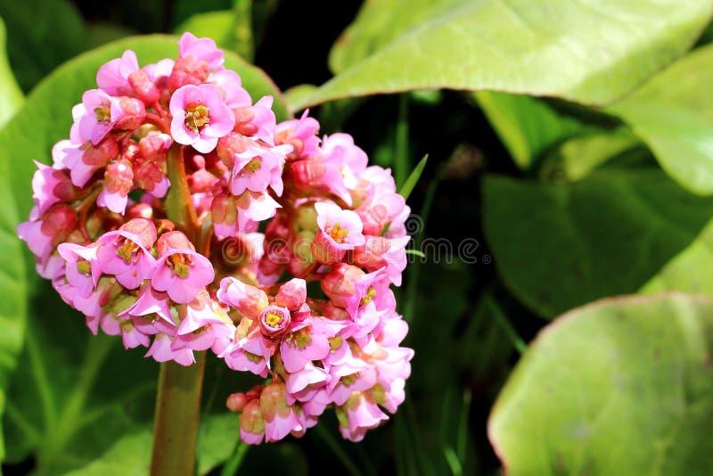 Fond de ressort avec le Bergenia de floraison photo stock
