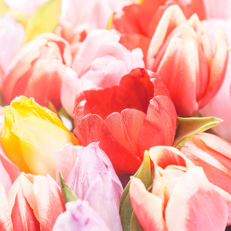 Fond de ressort des tulipes roses et jaunes images libres de droits