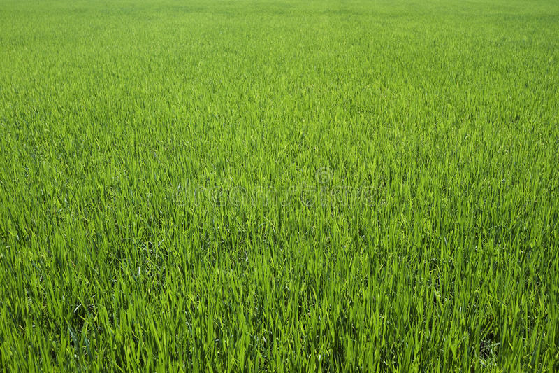 Fond de riz de ferme photographie stock