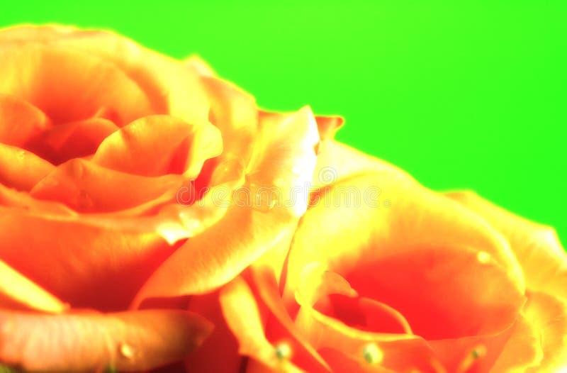 Download Fond de Rose photo stock. Image du roses, orange, cadre - 78982