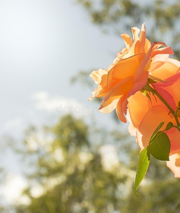 Fond de sympathie de condoléances de fleur de Rose photo libre de droits