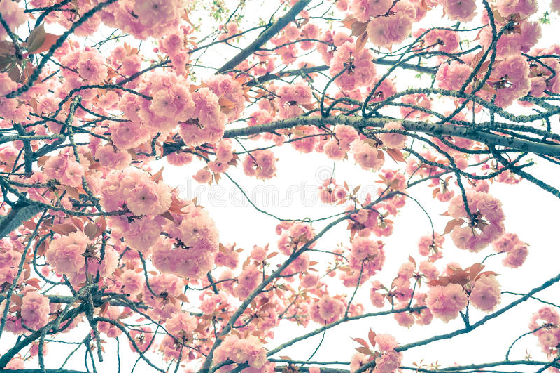 Fond de tache floue de fleurs de cerisier de ressort image stock