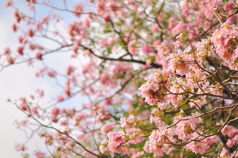 Fond de tache floue de fleurs de cerisier de ressort photo libre de droits