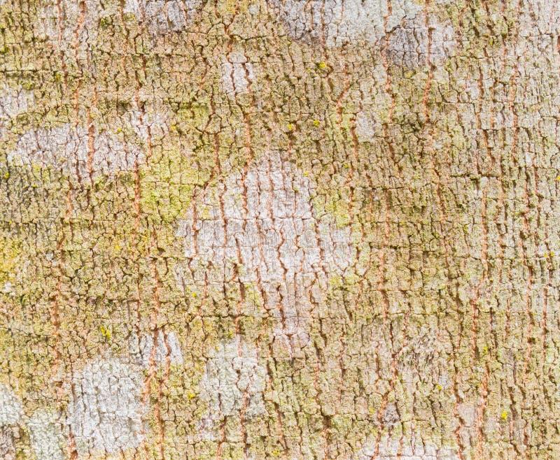 Fond 4 de texture d'écorce d'arbre en caoutchouc images stock