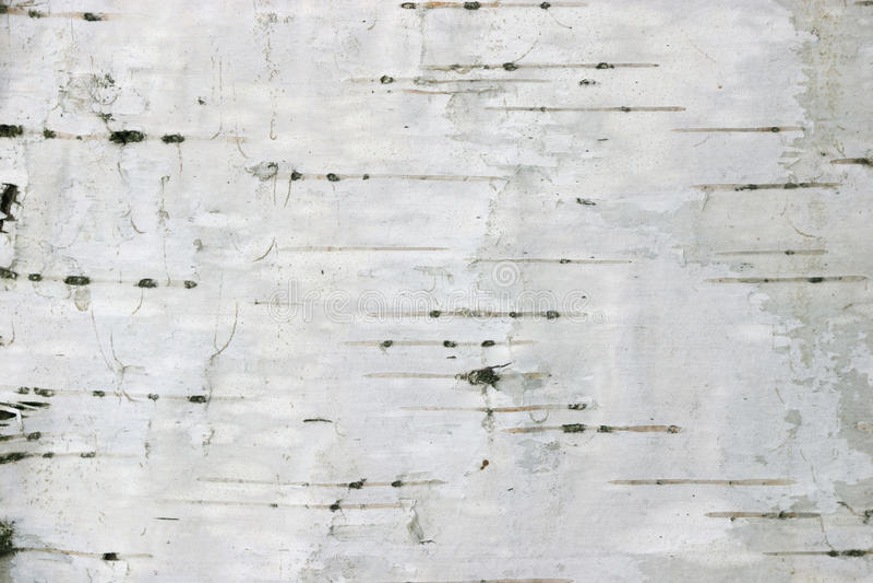 Fond de texture de bouleau photo stock