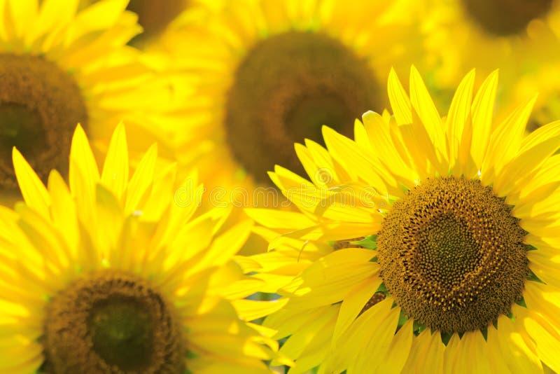 Fond de tournesol Été et concept d'huile photos libres de droits