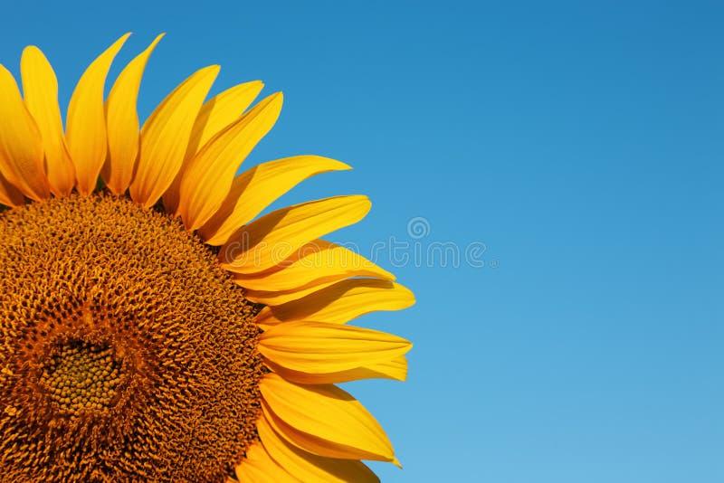 Fond de tournesol avec le ciel bleu photo libre de droits