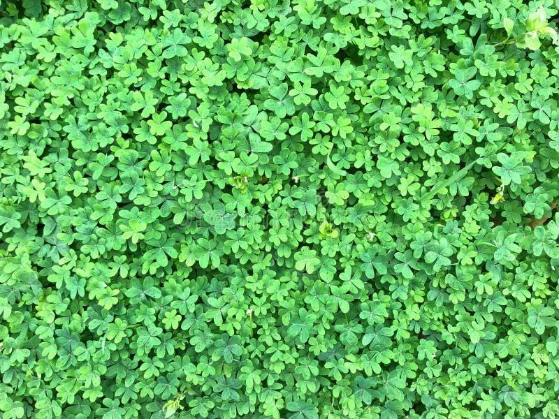 Fond de trèfle vert d'oxalide petite oseille images stock