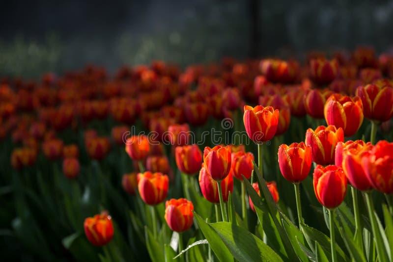 Fond de tulipes de fleur Belle vue des tulipes de couleur photos libres de droits