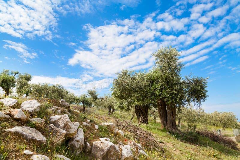 Fond de vacances d'été avec l'île grecque Thassos, oliviers, ciel nuageux bleu, Grèce photographie stock libre de droits