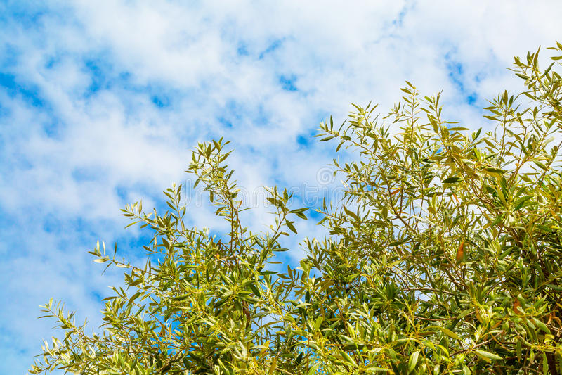 Fond de vacances d'été avec les feuilles olives, ciel nuageux bleu photo libre de droits