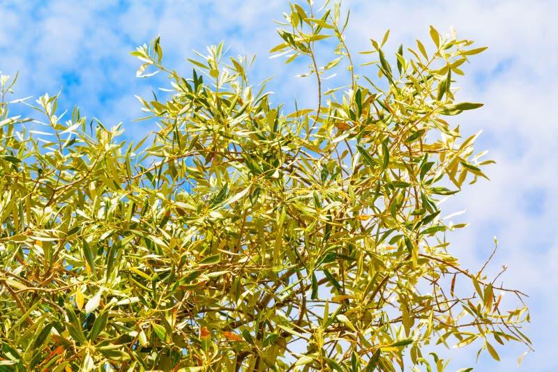 Fond de vacances d'été avec les feuilles olives, ciel nuageux bleu images libres de droits