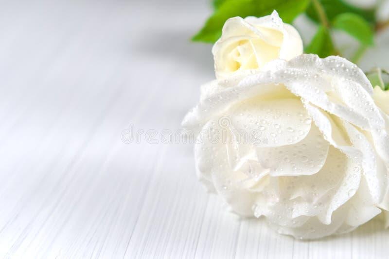 Fond de vacances Roses blanches avec des baisses de rosée sur un fond texturisé clair photographie stock libre de droits