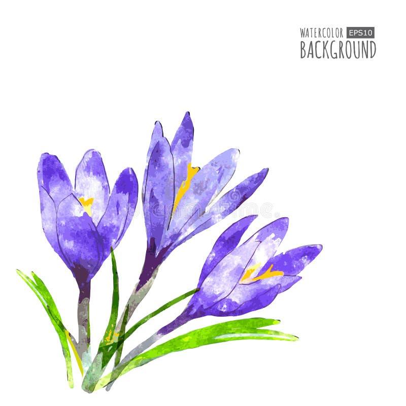 Fond de vecteur d'aquarelle avec la fleur pourpre et le vert de crocus illustration de vecteur