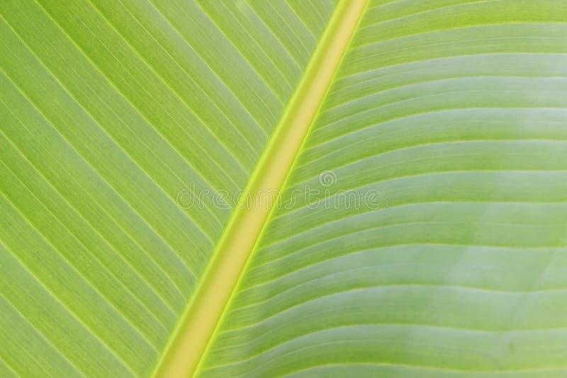 Fond de vert de centre de membre de feuille de bananier images stock