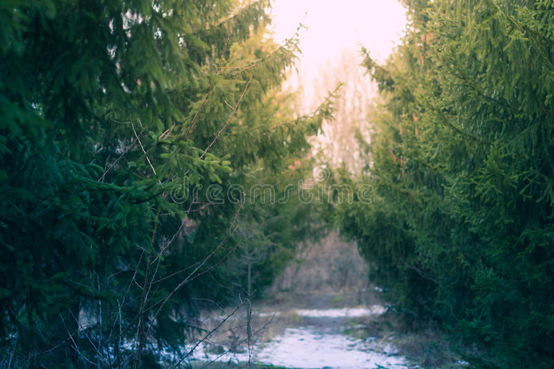 Fond de vert forêt de pin d'hiver avec les branches d'arbre brouillées de Noël image stock