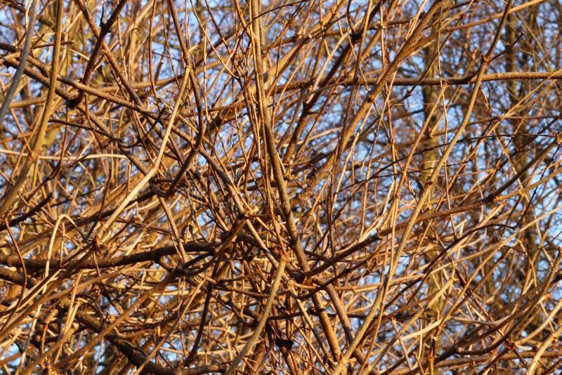 Fond des branches tordues nues d'un buisson dans les rayons du soleil égalisant Beau fond naturel de nature d'automne Textu photographie stock