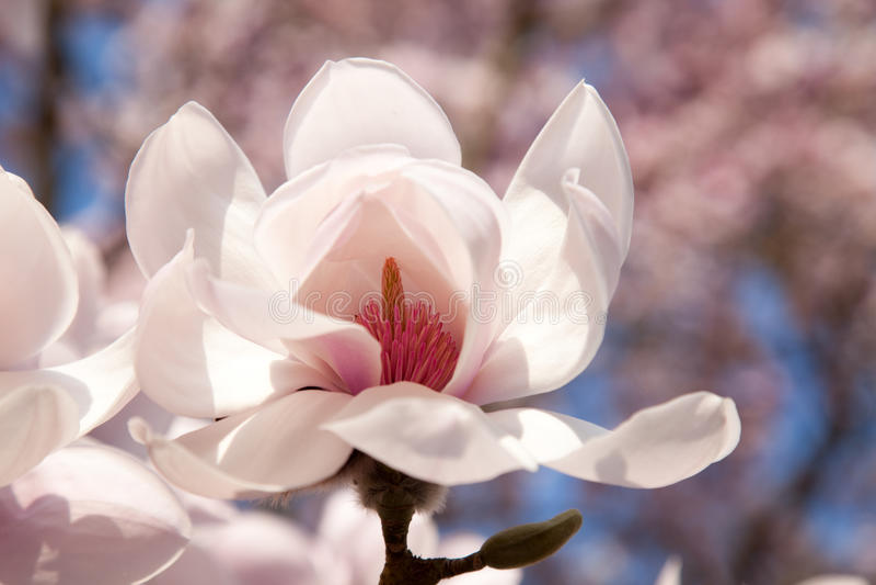 Fond des fleurs de magnolia images stock