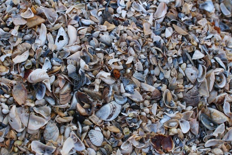 Fond des fragments cassés de coquillage sur la plage sablonneuse de l'Ukraine du sud photo libre de droits