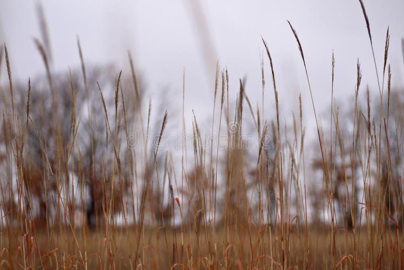 Fond des tiges brunes de l'herbe sèche sur un ciel gris image libre de droits
