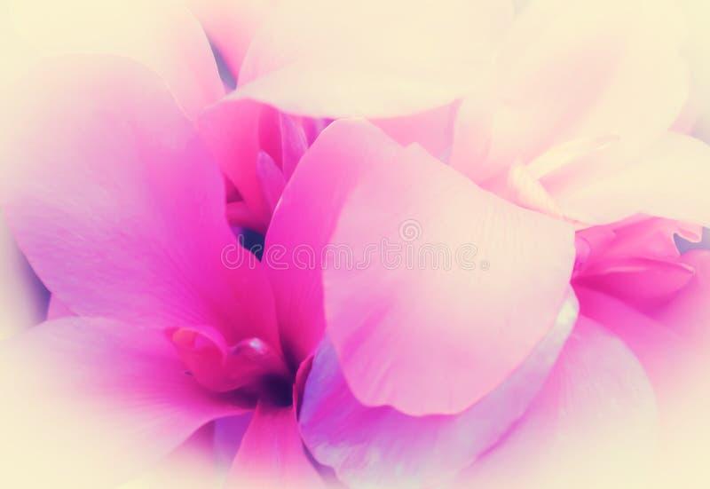 Fond doux de nature de pétale de foyer mou rose de fleur images stock