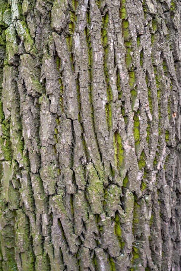 Fond en bois d'?corce Texture d'?corce en bois avec de la mousse verte sur un tronc d'arbre images stock