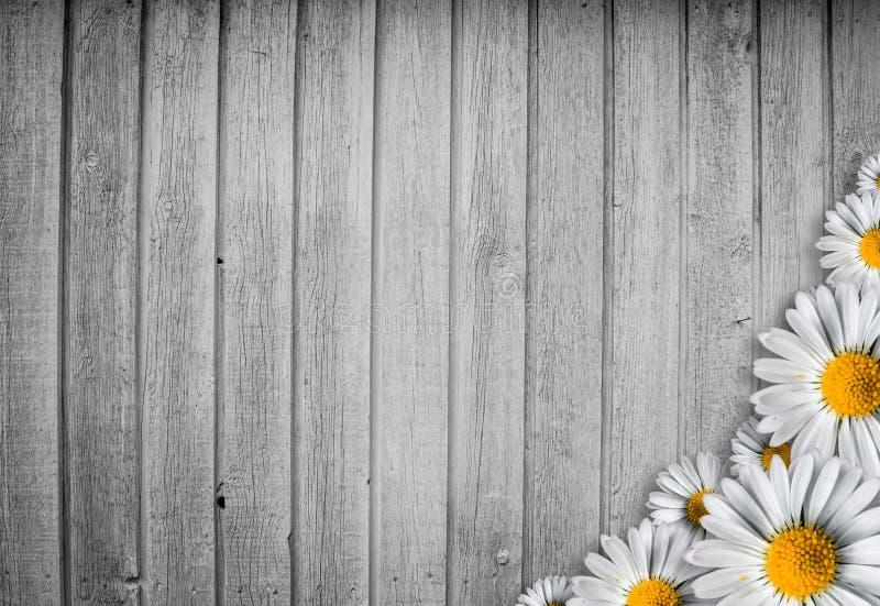 Fond en bois lumineux avec une fleur de marguerit photographie stock libre de droits