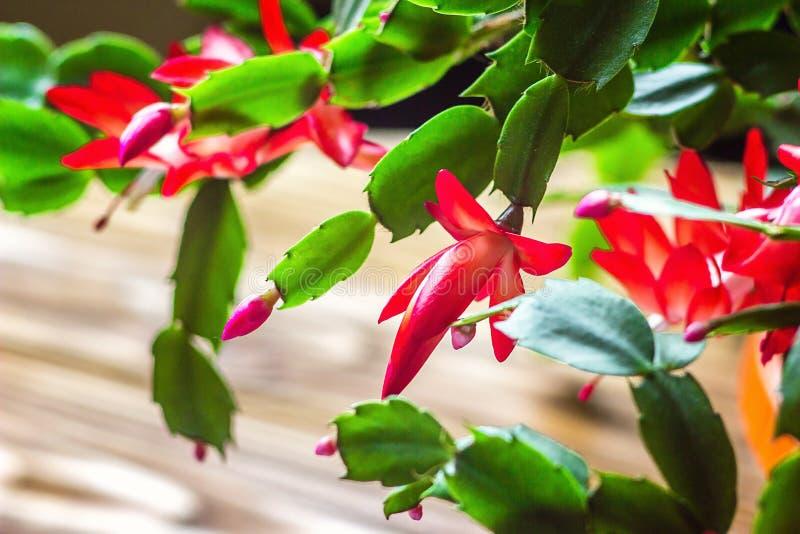 Fond en bois sensible U de pot de fleur de zygocactus de Truncata de Schlumbergera de cactus de vacances de crabe de cactus de th image libre de droits