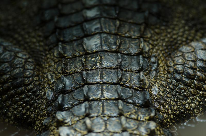 Fond en gros plan de cuir de crocodile photo libre de droits
