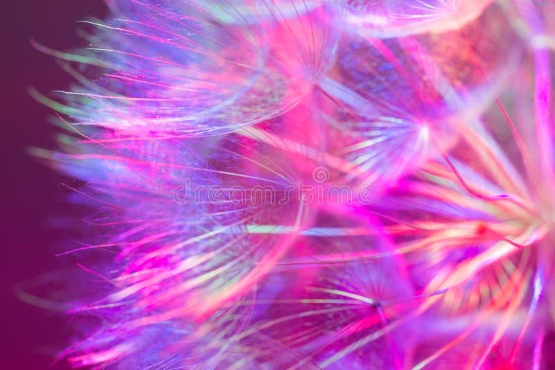 Fond en pastel coloré - fleur abstraite vive de pissenlit photographie stock