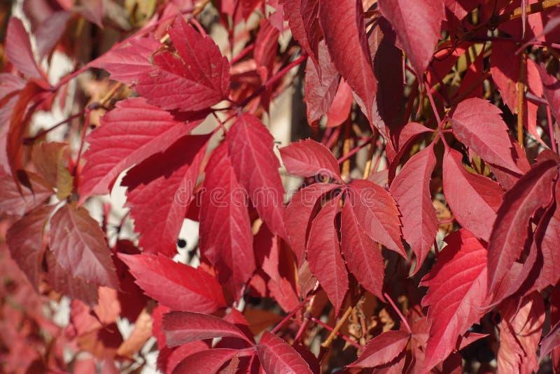 Fond - feuilles rouges de quinquefolia de Parthenocissus photos stock