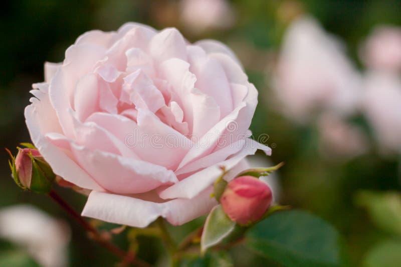 Fond floral avec le foyer mou Rose de rose sur le fond vert brouillé photos libres de droits
