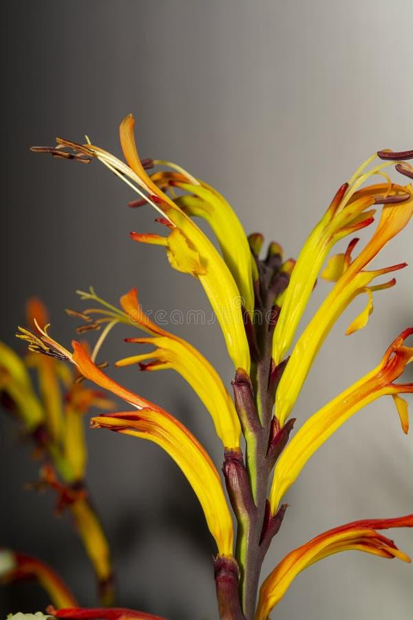 Fond floral avec les fleurs fra?ches de colofrul dans le bouquet, macro fin de photo  photos stock