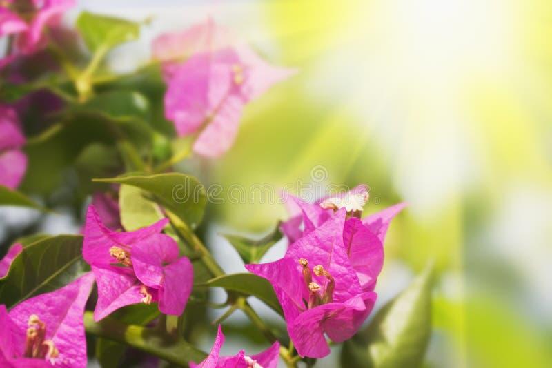 Fond floral. Bouganvillée pourprée. photographie stock