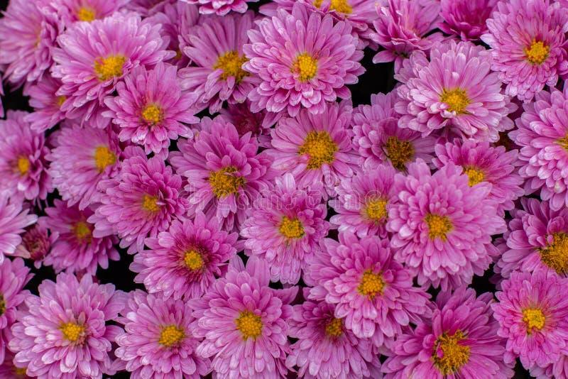 Fond floral, chrysanthèmes roses Belle fleur d'automne, bouquet de magenta daisy chrysanthème fleurie images stock
