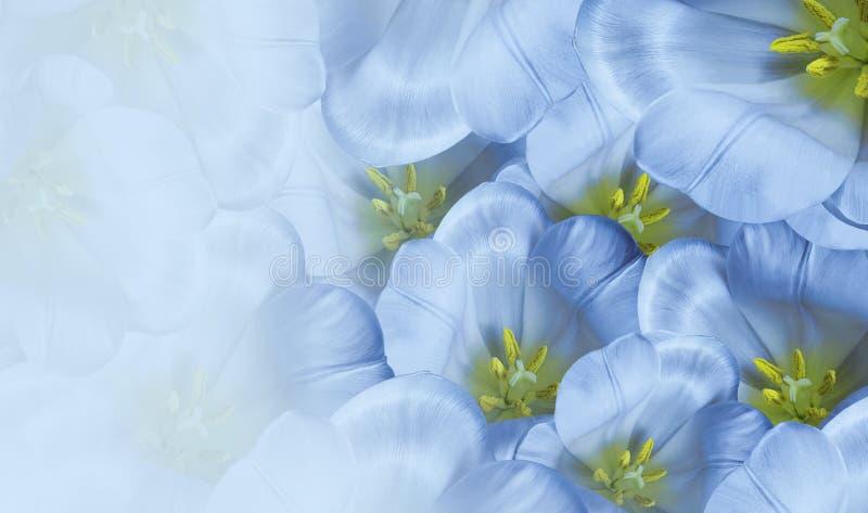 Fond floral de bleu de ressort Fleurit la fleur blanche de tulipes Plan rapproché Carte de voeux images stock