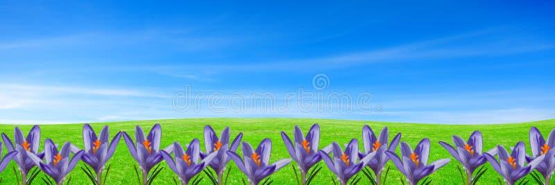 Fond floral de ressort avec les crocus pourpres sur l'herbe verte sous le ciel bleu photographie stock