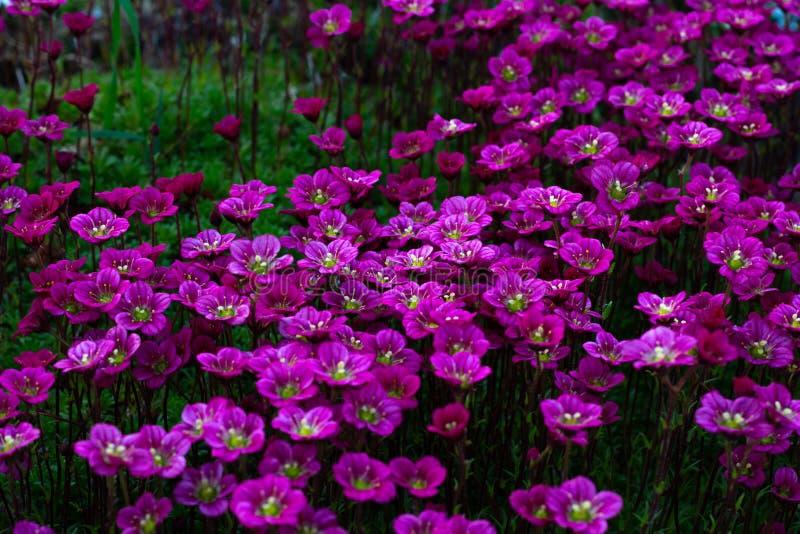 Fond floral des fleurs roses de la saxifrage, floraison de ressort de saxifrage, petites fleurs roses image libre de droits