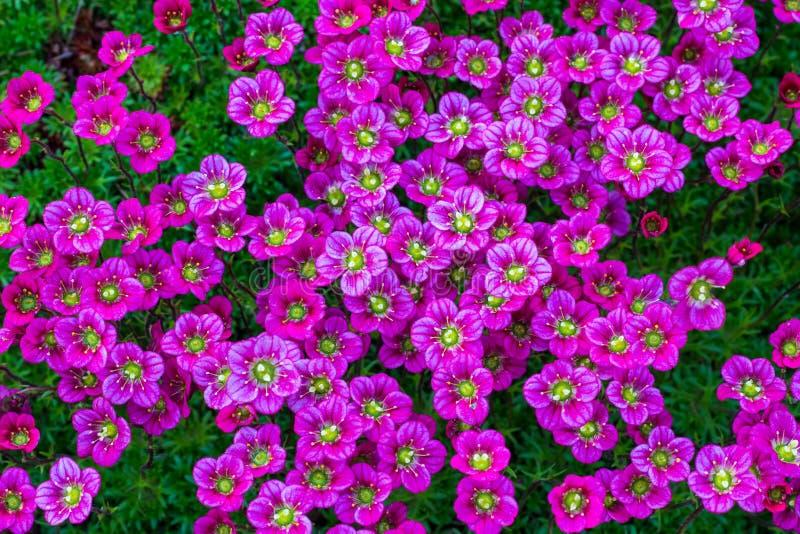 Fond floral des fleurs roses de la saxifrage, floraison de ressort de saxifrage, petites fleurs roses images stock
