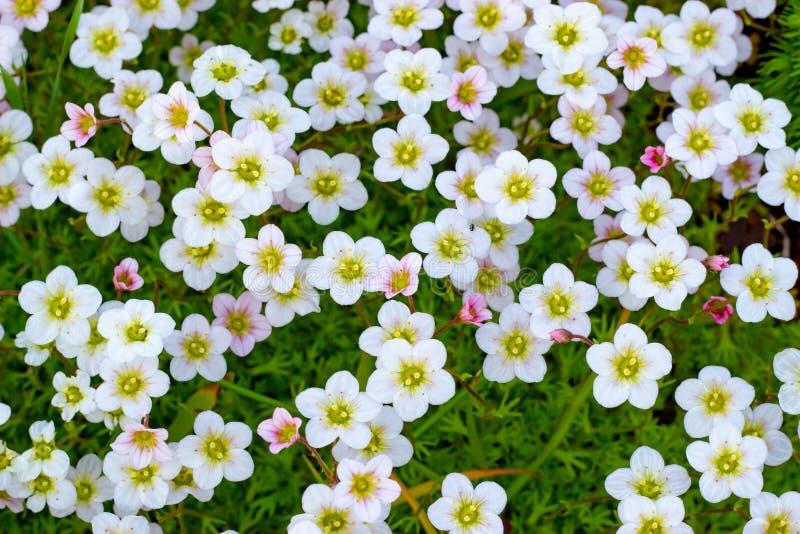 Fond floral des fleurs roses de la saxifrage, floraison de ressort de saxifrage, petites fleurs blanches images stock